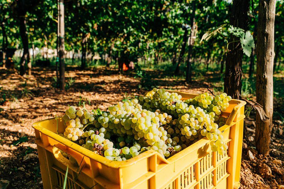 Foto di uva raccolte durante la vendemmia